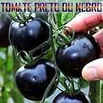 Conheça o tomate preto e benefícios