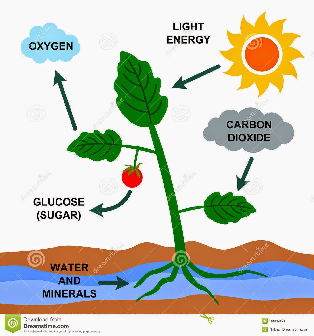 Funcion del dixido de carbono en la fotosintesis 88