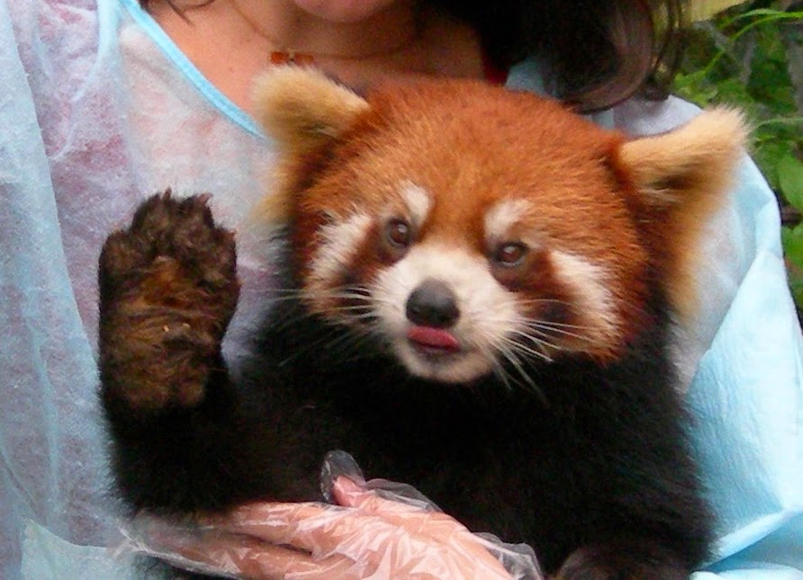 40 Adorable red panda pictures (40 pics), red panda waving his hand