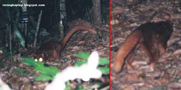 Terungkapnya Misteri Binatang Aneh di Kalimantan