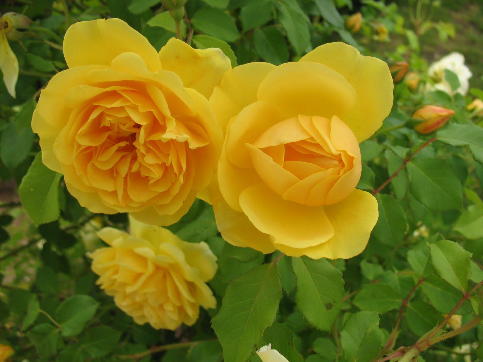 Roses du jardin ch neland bouquet de roses et g ranium - Quand planter un rosier ...
