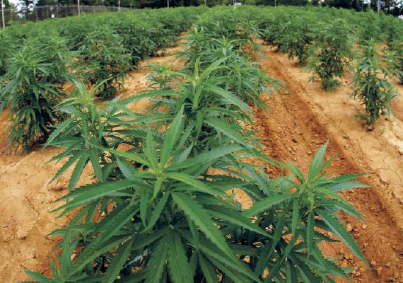 http://1.bp.blogspot.com/-QVIGC6651D4/T2ywbFj30SI/AAAAAAAAAd4/2FTp33cQO30/s1600/marijuana-farm.jpg