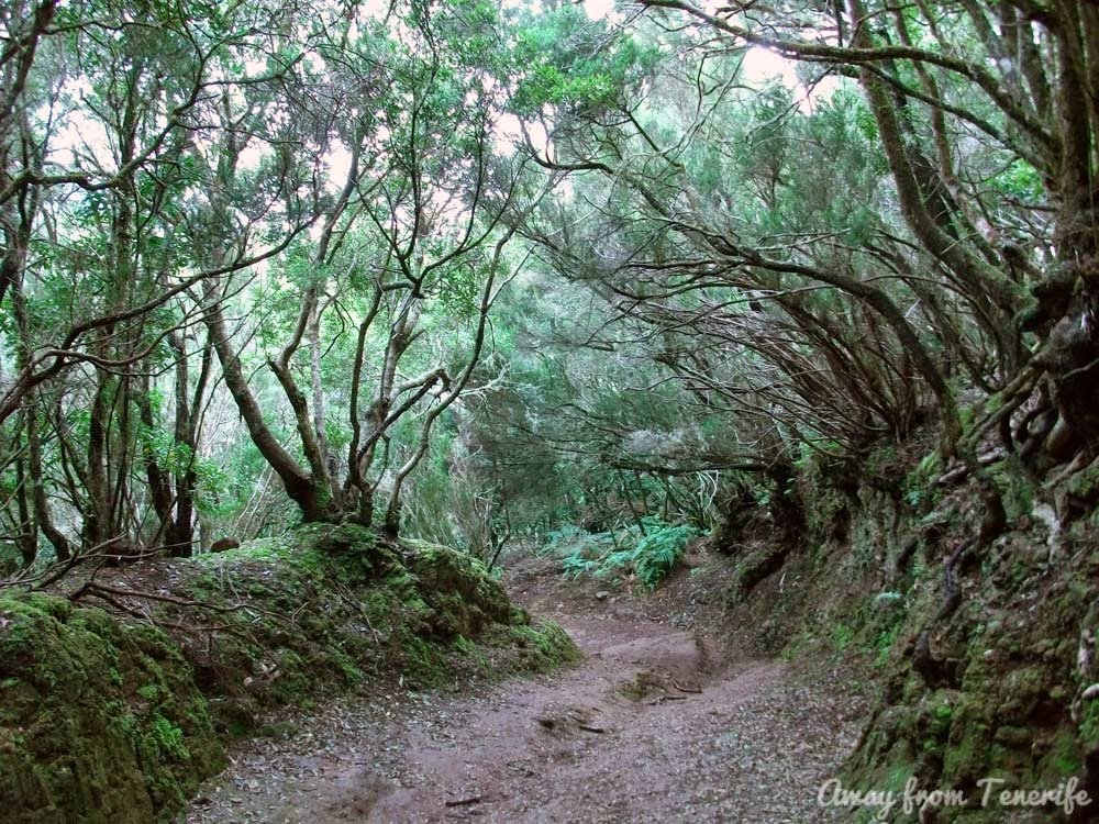 Tenerife laurisilva