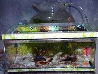 Ikan Koi Cupang