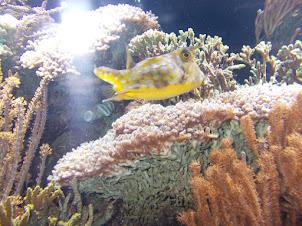 """Puffer Fish"" in Schoenbrunn Aquarium."