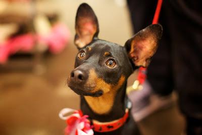 perrito negro con orejas largas