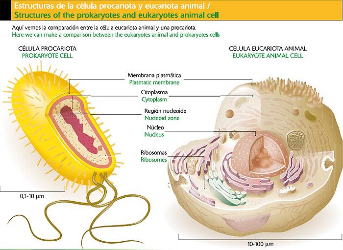 celula animal y sus partes. hair Diferencia celula animal