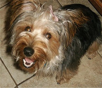 Australian Silky Terrier Dog Breed Photos
