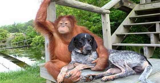 εγκαταλελειμμένο σκυλί συναντά έναν ουρακοτάγκο
