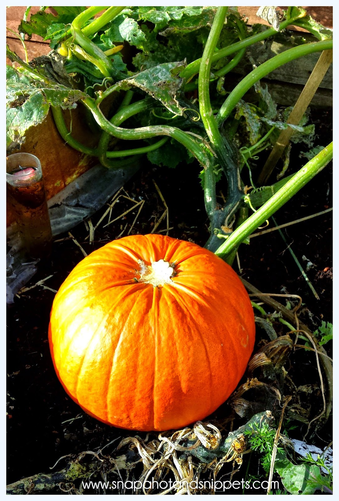 Harvesting your pumpkin