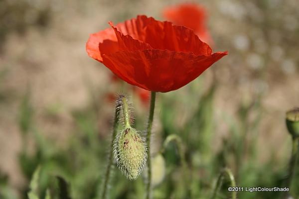 Poppy flower with a bud