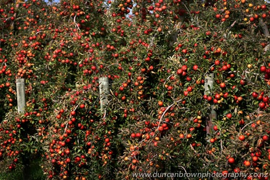 Complementary Colours - lots of red apples on green trees photograph