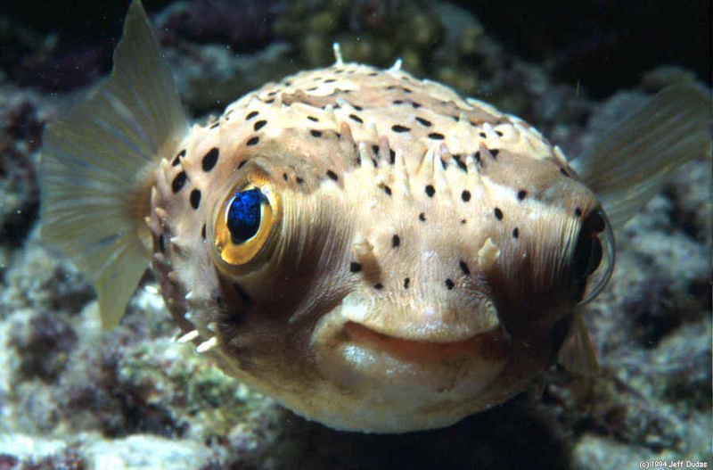 Biology 11 blog for What is a puffer fish