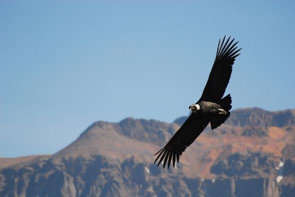 10 Burung dengan Rentang Sayap Terlebar di Dunia: Burung Kondor Andean (Vultur gryphus)