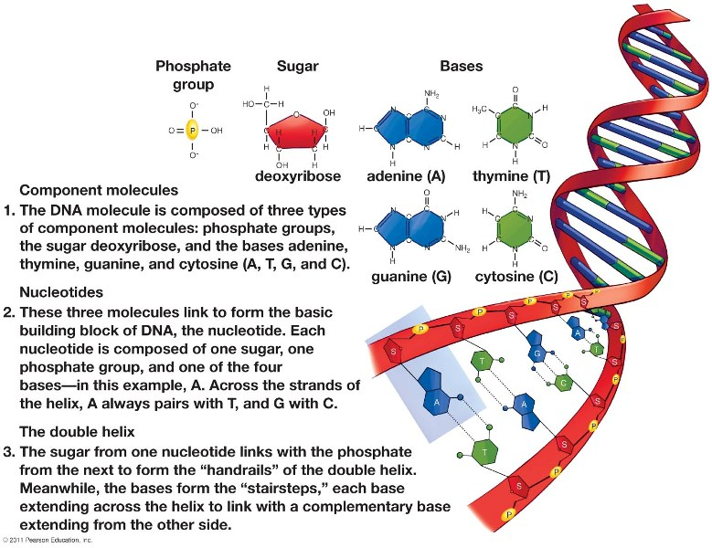 describe the biochemical composition structure and replication of dna essay Free essay on dna replication available totally free at echeatcom, the largest free essay community.
