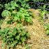 Growing Potatoes in Straw Mulch #vegetable_gardening