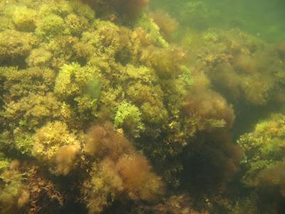 Irish Moss (Chondrus Crispus) Overview, Health Benefits, Side effects