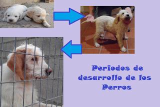 Periodos_de_la_vida_del_perro