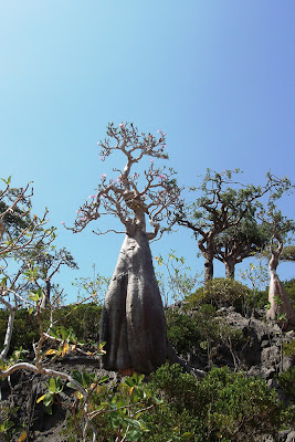Socotra unique desert rose