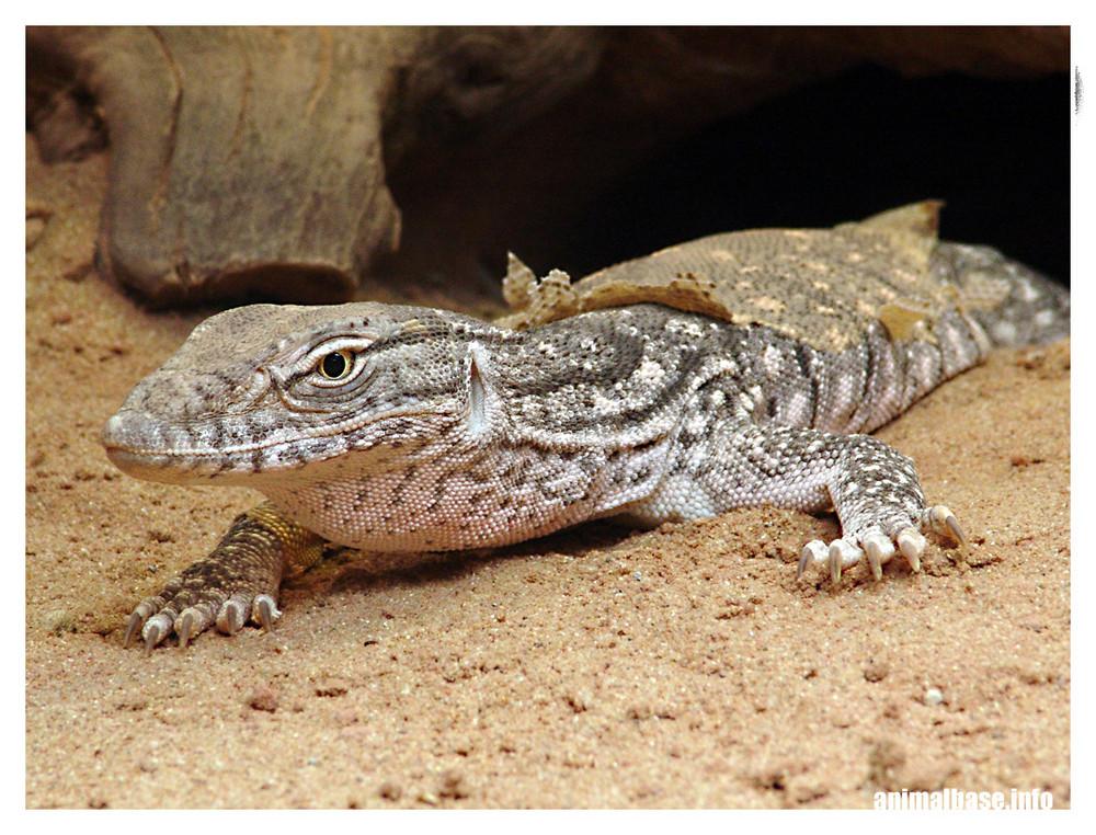 de sus narinas cerca de los ojos permite que el lagarto se entierre en