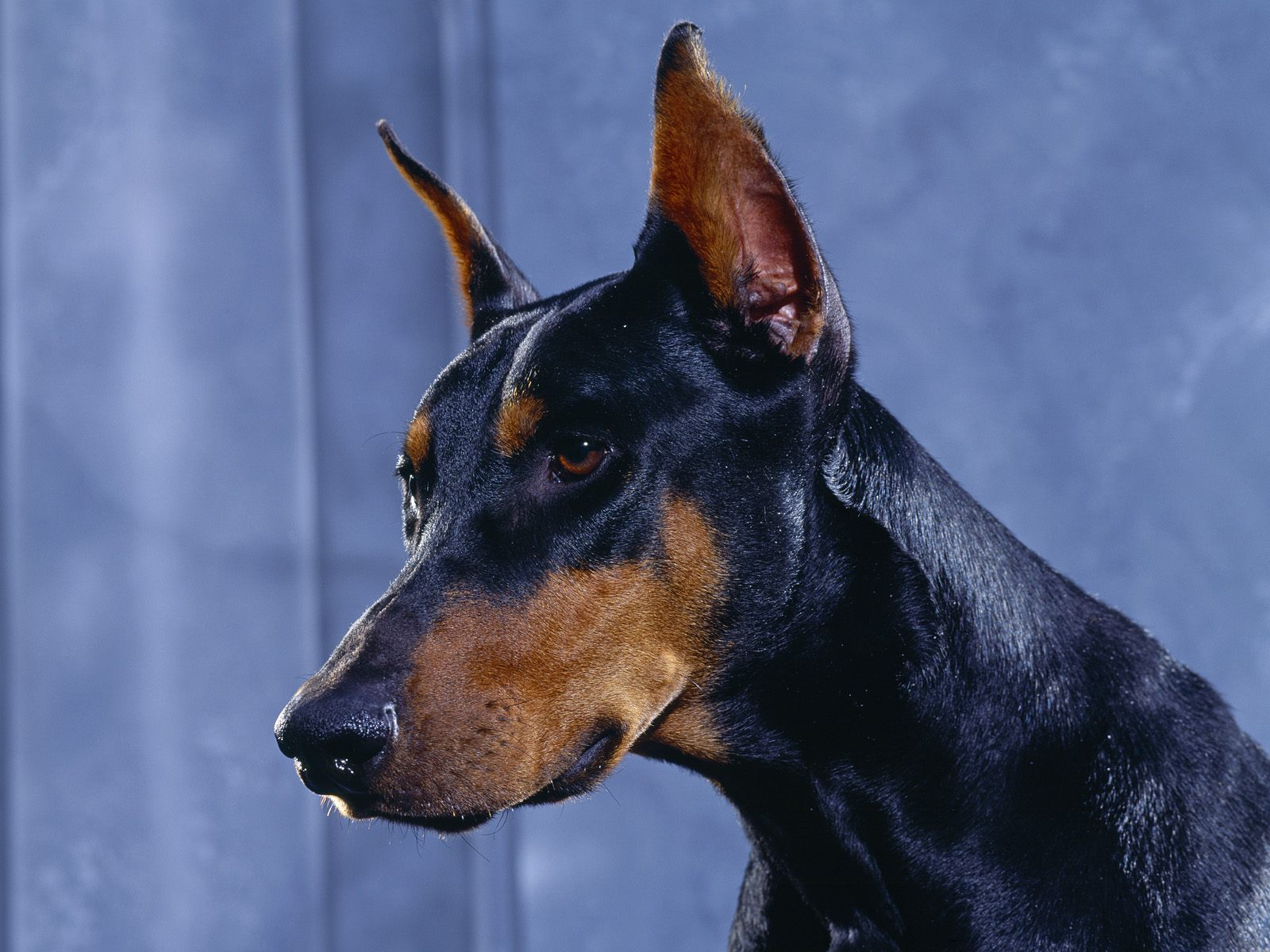 http://1.bp.blogspot.com/-QYC2PojgQsE/TmjyH6m7WdI/AAAAAAAABAk/fHFvrnnfCE8/s1600/Doberman-Shepherd-Dog-Wallpapers-www.stillmaza.com-4.jpg
