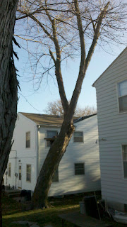 Silver maple in Dundee, Omaha prior to removal by American Arborist tree care provider