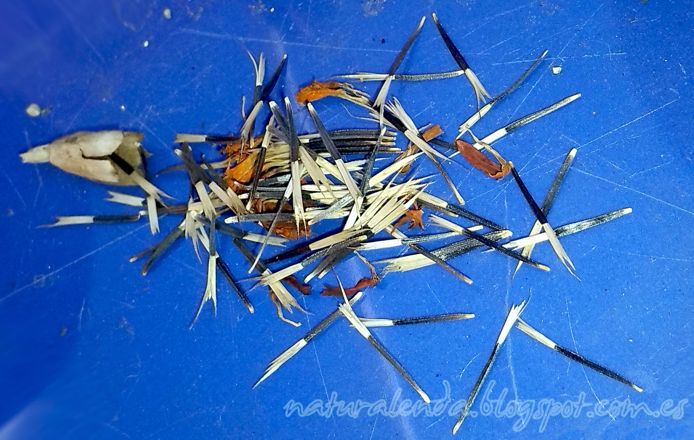 semillas de tagete extendidas por la mesa