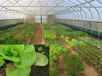 Vegetables growing in the polytunnel, but look at the way the mildew affects the lettuce leaves (inset) in this mild damp weather