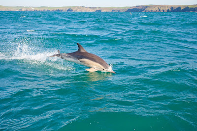 Dolphins in Cornwall spotted with a Wavehunters boat trip