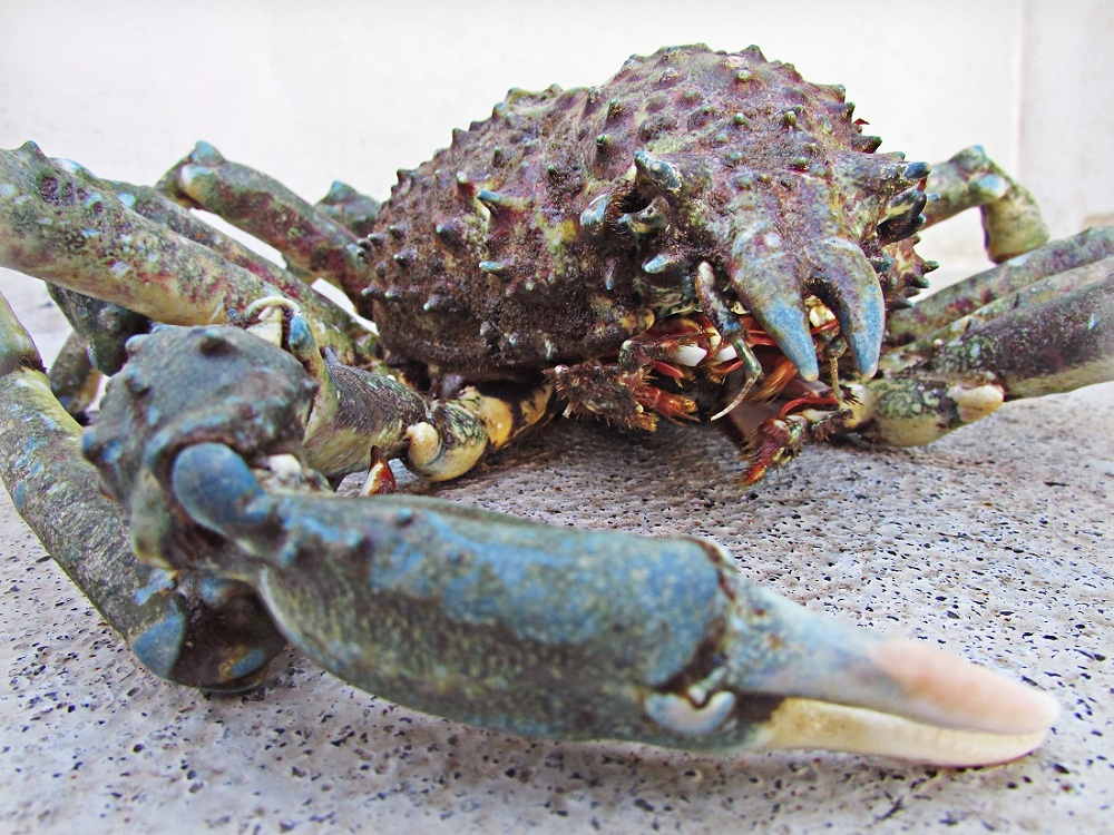 spider crab, Wild West Commercial Fishing, local seafood, San Diego, Tuna Harbor Dockside Market