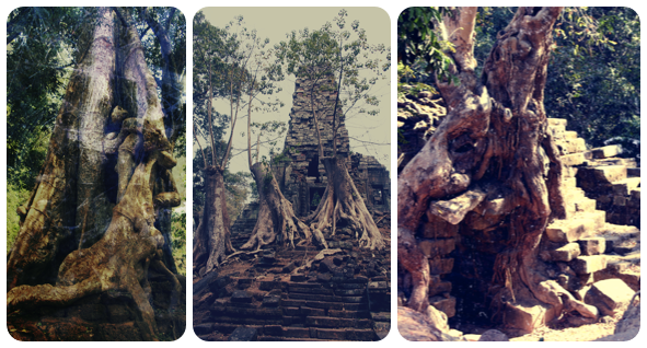 Amazing trees and temples at angkor thom