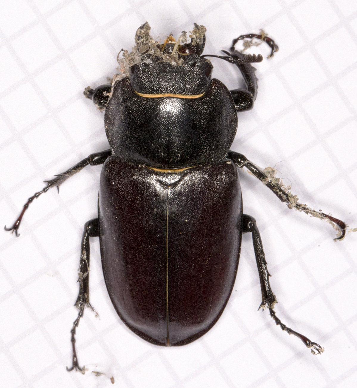 Stag Beetle, Lucanus cervus.  Female.  Hayes, 14 June 2014.
