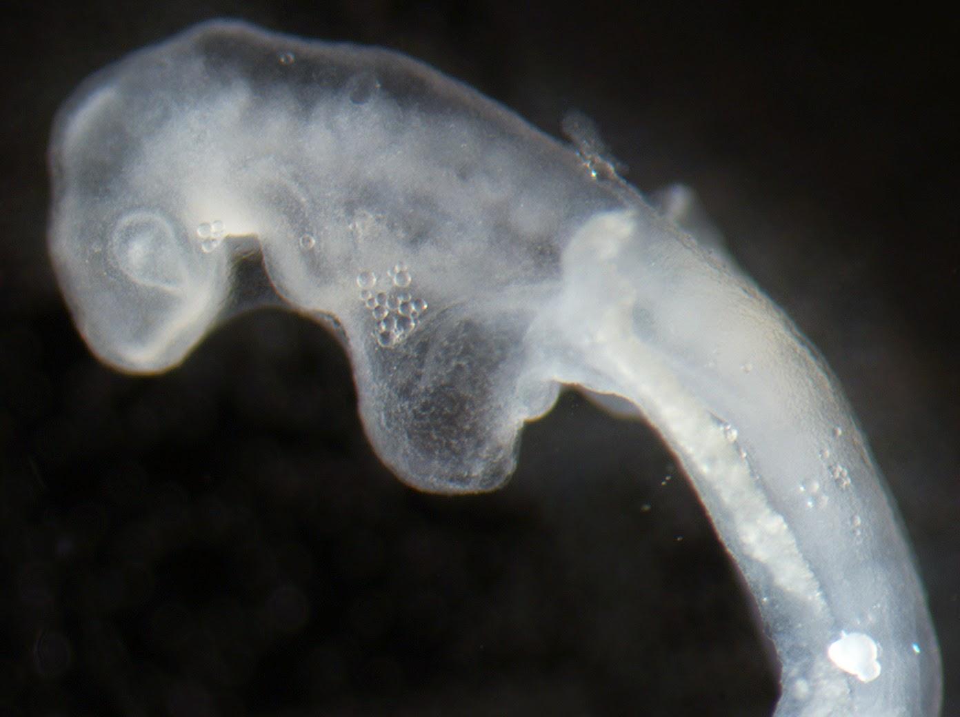 Turtle embryo - photo#12