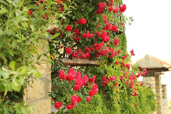 cerco de rosas