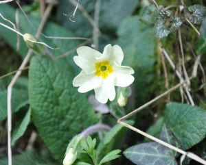 First primrose of Spring. Stock Photo credit: deirdre60