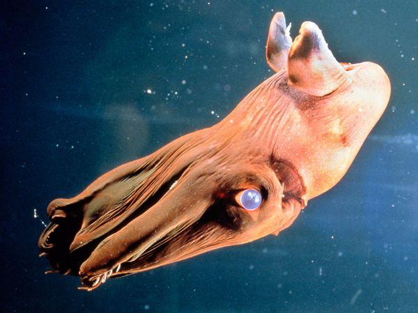 .::El Calamar Vampiro::. Deep-sea08-vampire-squid_18168_600x450