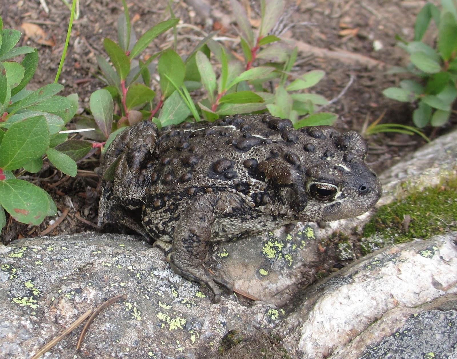 Cannundrums boreal toad it looked very similar to the common california toads we find in our area except that it seemed smaller and gray sciox Image collections
