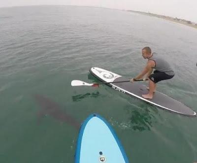 Paddle board πάνω από μεγάλους λευκούς καρχαρίες
