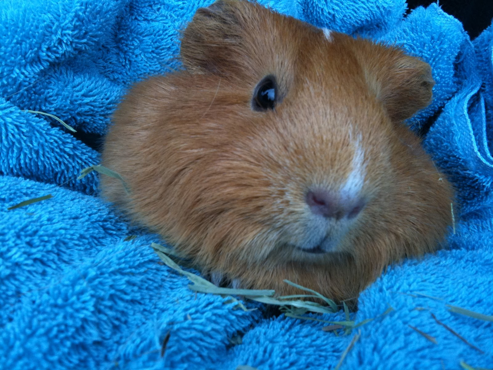 Guinea pig wildlife the wildlife for Guinea pig pictures free