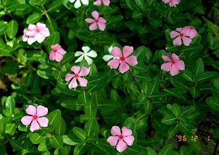 Tapak Dara Catharanthus roseus