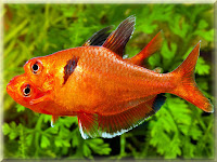 Serpae Tetra Fish Pictures