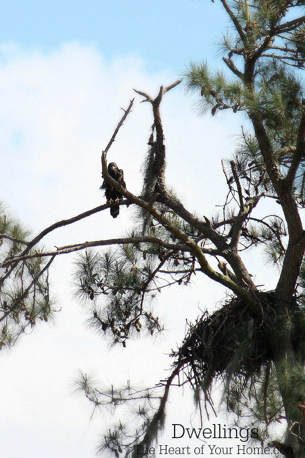 The Oaks Plantation Bald Eagle