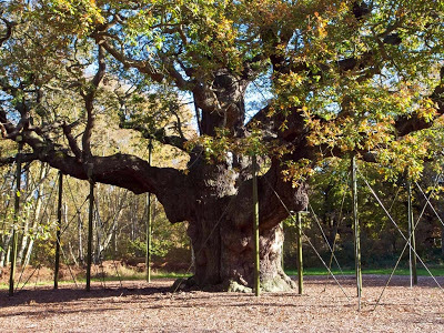Pohon Oak Mayor, Hutan Sherwood, Inggris