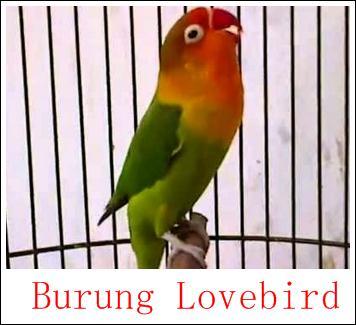 umur ideal untuk memasterkan burung lovebird   merawat