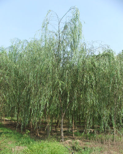 Xing Fu The Willow Tree In Chinese Culture