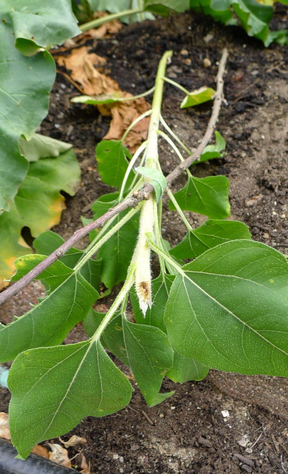 Damage to sunflower caused by squirrels