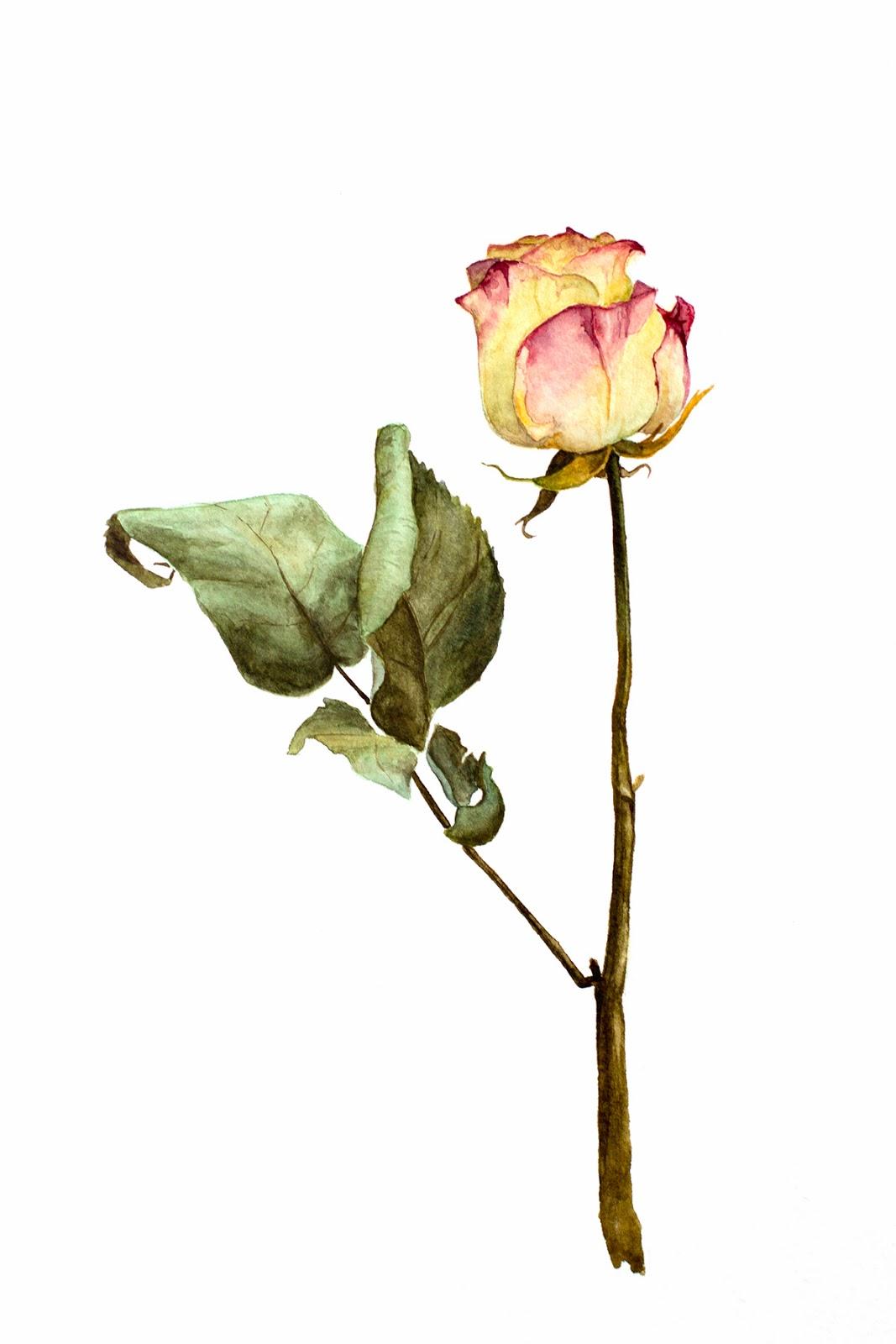 роза, акварель, роза акварелью, рисунок акварелью, evgeniya-homa, watercolor