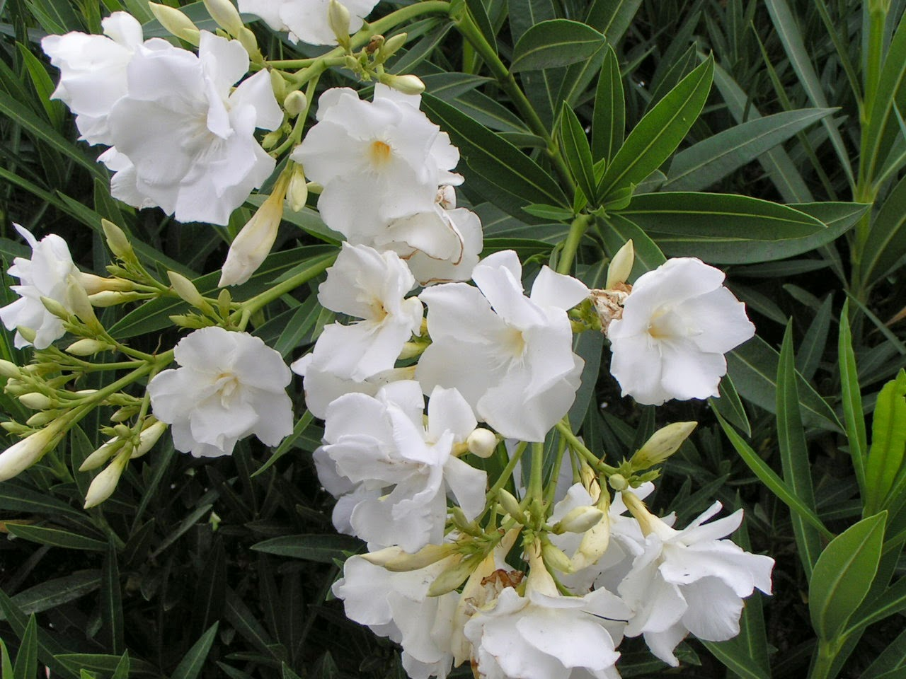 Nerium Oleander Flowers O Wallpaper Picture Photo