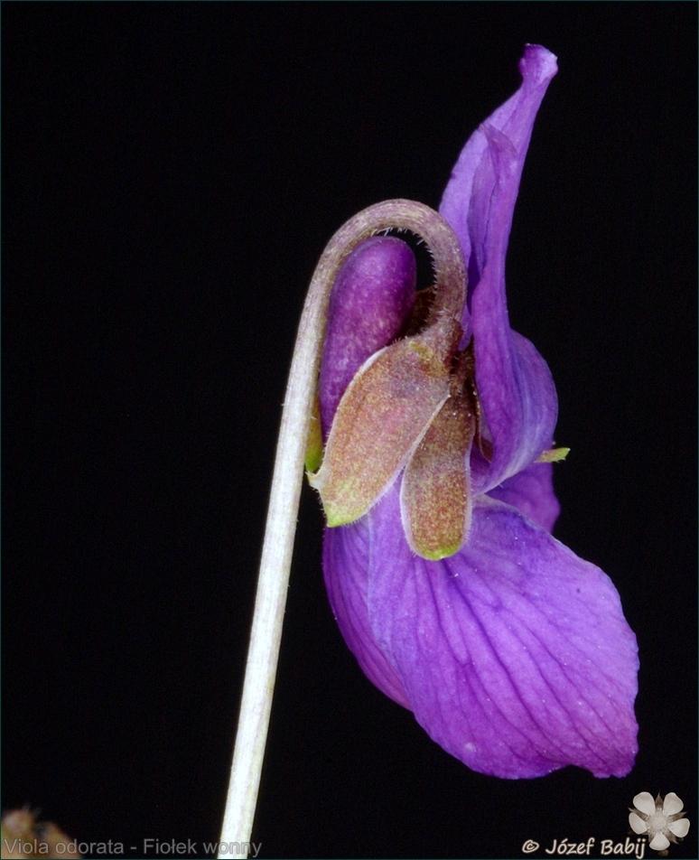 Viola odorata - Fiołek wonny