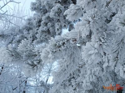 Chiciura pe copac